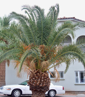 Canary island date palm varieties